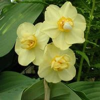 Ready Potted 1 Litre Pot   YELLOW  CHEERFULNESS DOUBLE DAFFODIL